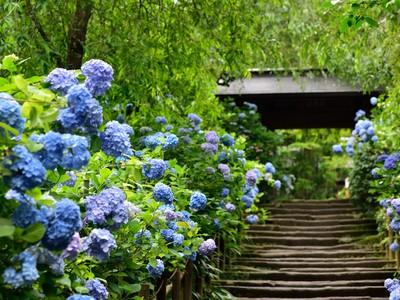 梅雨の古都。紫陽花の咲き乱れる、鎌倉特集