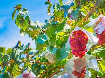 """""""美味しい""""おでかけしませんか♡秋のフルーツ狩り特集"""