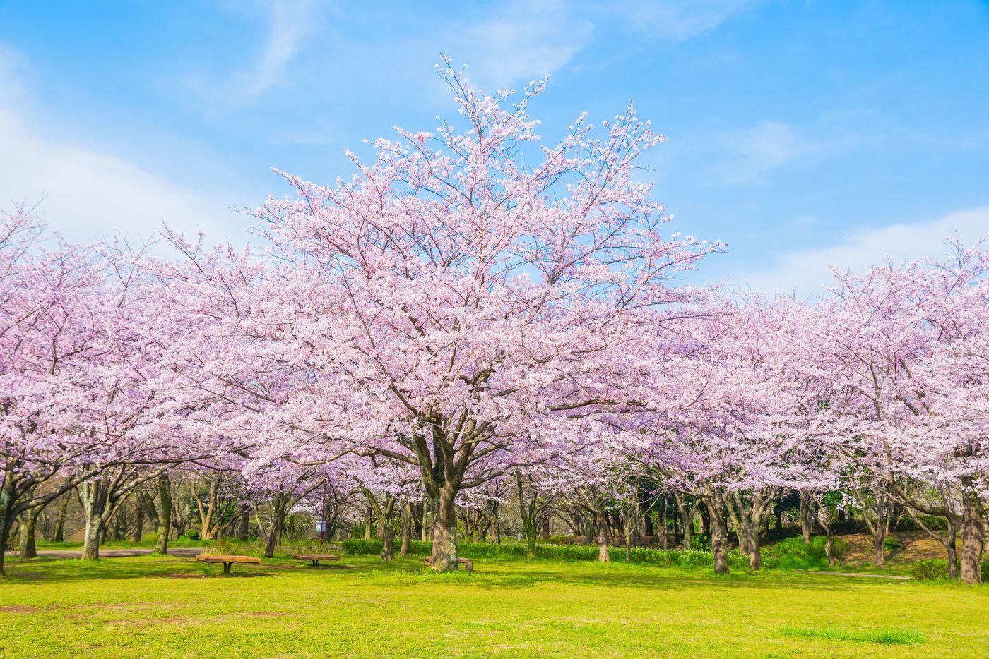 【2020版】花見を千葉でするならココ!開花予想と一緒に4選紹介の画像