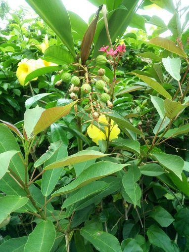 沖縄の香り・月桃~緑のアロマ部屋vol.34の画像