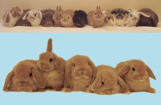 生後2カ月のウサギ50羽を販売 専門店「九州うさぎCLUB」での画像