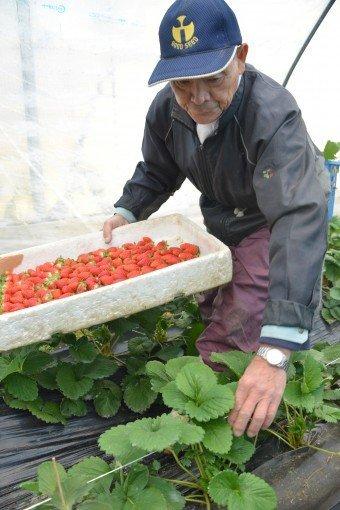 佐賀県産イチゴの新ブランド「いちごさん」2年目の販売をスタートの画像
