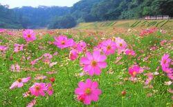 秋桜の絶景!100万本が咲き誇る♡横須賀市で「コスモスまつり」開催!