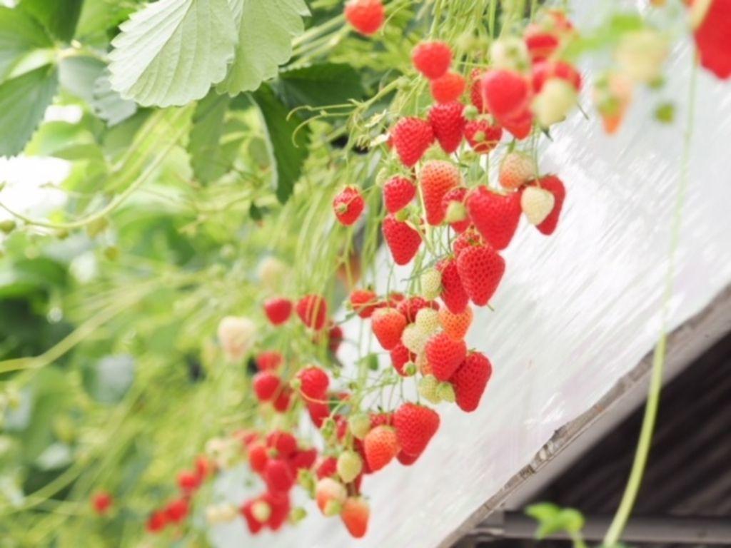 【神奈川】いちご狩りの季節が来た!エリア別厳選農園10選☆の画像