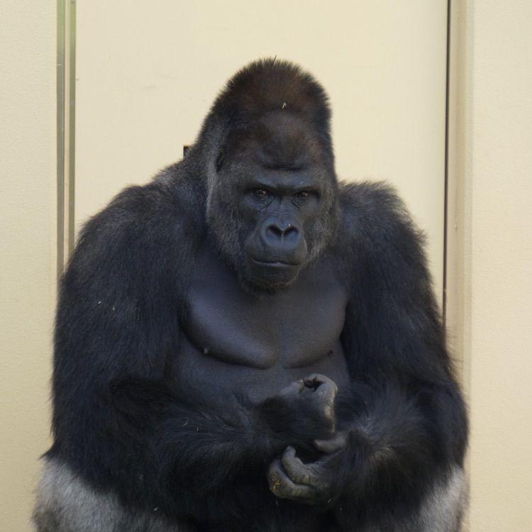#動物園 #東山動物園 #名古屋 #ゴリラ #はじめての投稿
