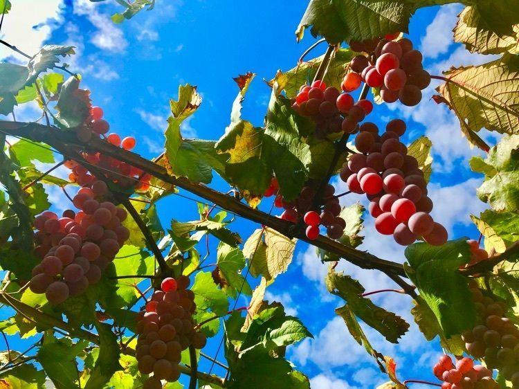 #yamanashi #chateaumercian #wine #winery #autumn #山梨 #勝沼 #ワイン #ワイナリー #大善寺 #ぶどう寺 #シャトーメルシャン #ぶどう狩り #巨峰 #シャインマスカット #ぶどう #葡萄酒 #食欲の秋 #秋
