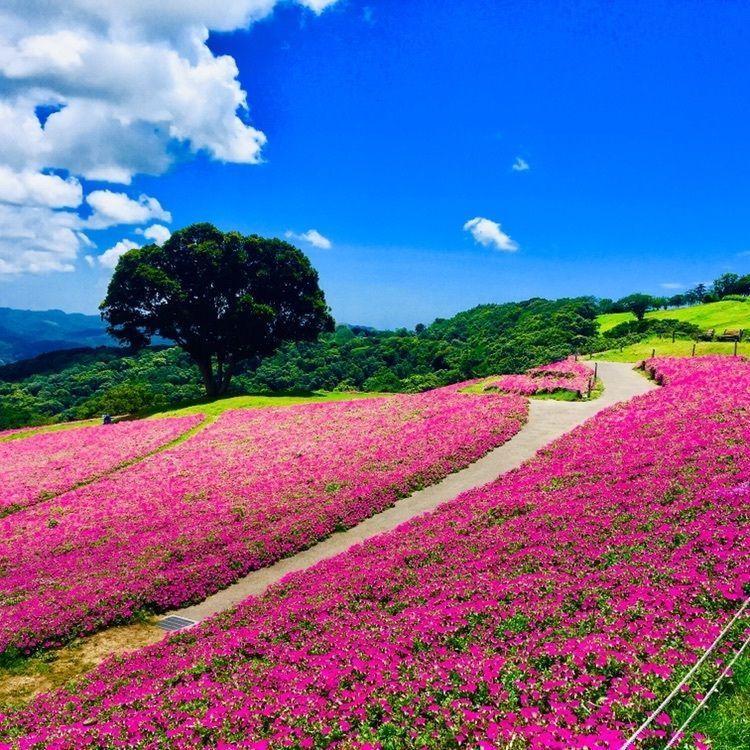 #マザー牧場 #芝桜 #フォトジェニック