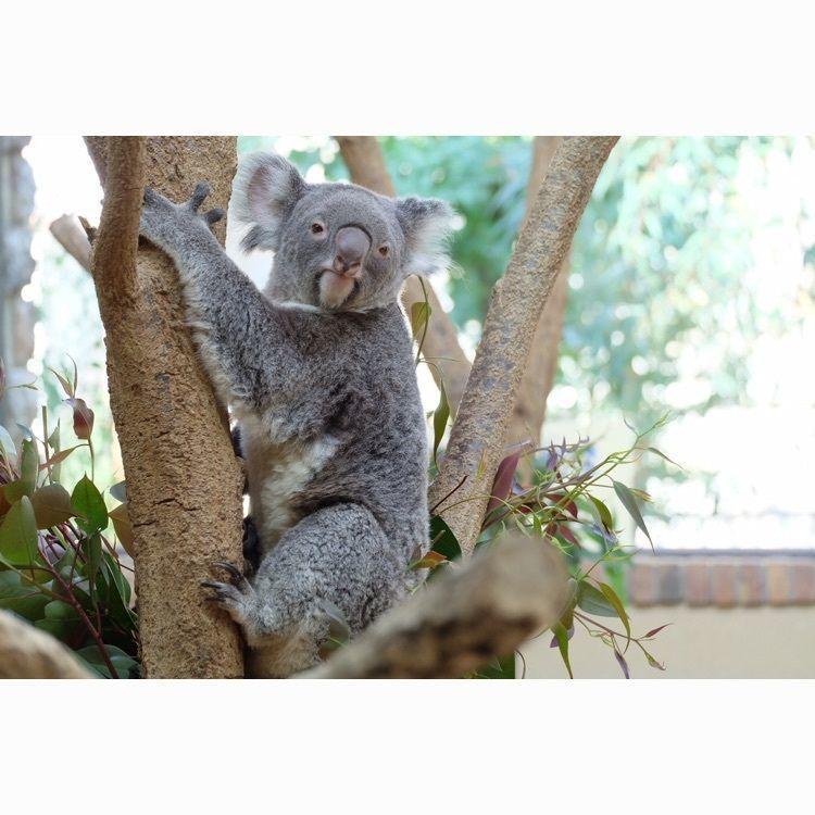 #koala #animal #sunday #zoo #happy #楽しかった #kobe #drive #camera