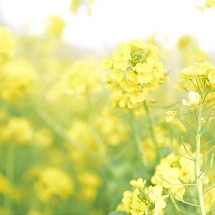 #マザー牧場 #菜の花 #春