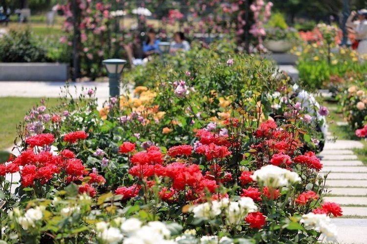 #中之島公園 #薔薇 #大阪