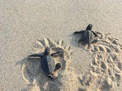 メキシコでウミガメの赤ちゃんを海にリリースしに行こう!